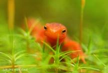 salamander s