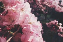 Kwiaty wiśni/Cherry blossom