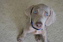 My puppy Remy! / Weimaraner pup Remy