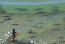 Surfing with sharks