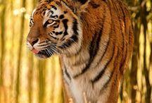 ma passion pour les tigres