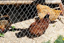 Backyard Chickens / Backyard Chickens