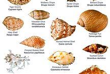 Conchas y caracolas marinas