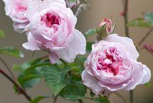 Rosen / Die schönsten Gartenrosen