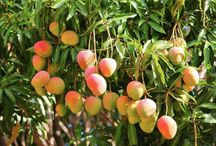 Balcony Plants / Mango Tree
