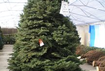 Purr-fectly Pampered Christmas Trees! / Just Arrived! Our trees receive a fresh cut and are placed in individual stands with a water reservoir. Displayed with their graceful branches unrestrained finding your tree is easy and comfortable in our climate controlled greenhouse