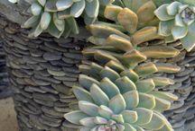 Succulentes potées