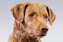 """Chesapeake Bay Retriever / Chesapeake Bay Retrievers are strong, powerfully built gundogs standing anywhere from 21 to 26 inches at the shoulder, with females occupying the lower end of the range. A good-size male can weigh up to 80 pounds. The distinctive breed trait is a wavy waterproof coat that's oily to the touch. Chessies are solid-colored, either """"chocolate-y"""" brown, sedge (red-gold), or deadgrass (straw). The keen yellow-amber eyes draw attention to an eager, intelligent expression."""