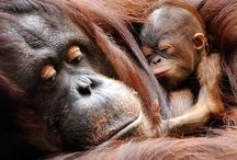 Beautiful orangutans