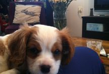 """Luigi Muffin the 2nd-My King Charles cavalier / Hi Cavi lovers, i want to share with you pics of my beloved cavi- Luigi Muffin the 2nd, or simply """"Luigi"""""""