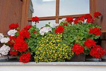 Flores enfeitando janelas / É um encanto ver janelas sejam rústicas ou citadinas enfeitadas com a beleza natural das flores e plantas    https://www.facebook.com/conceicao.vidal