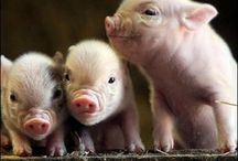 Pigs / Cerditos adorables