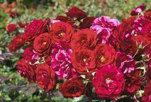 fertilizzanti x piante rose