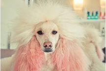 breed love ♥ poodle / #poodle