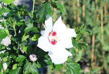 Hibiscus syriacus / Piante e fiori di Hibiscus Syriacus