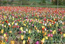 Tulipany Tulip