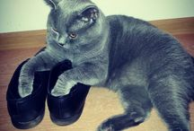 My pet / British shorthair blue