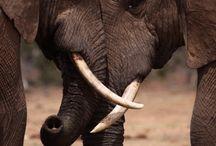 My love of elephants