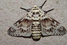 Mariposa Podalia orsilochus Megalopygidae