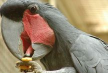Kohli - Papageien