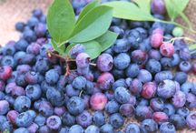Blueberry Bushes / All you need to know about blueberry bushes. How to grow blueberries and where to buy them. Buy blueberry bushes for sale online! www.theplantingtree.com