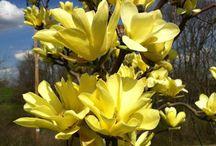 magnoliák