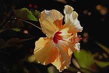 Painting Hibiscus / by Francoise Chauray