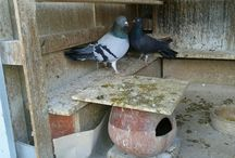 Voutes pigeons / Vouta is a pigeon and leave only in Greece!