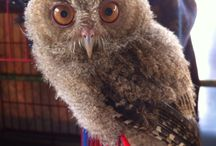 I Miss you felix / Javan owl .