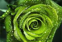 Kukkia / Ruusut