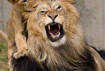 Львы/Lions / изображения львов