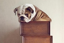 British Bulldog Love