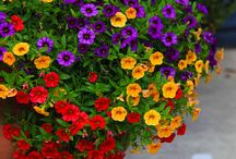 In love with Million Bells/Calibrachoa / different varieties and ideas for growing Calibrachoa