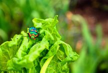 Pests and Diseases / All about bugs, insects, diseases and how to deal with them is an organic way