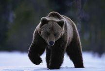 Медведи для карвинга / Идеи, материал для воплощения в интерьерных анималистических скульптурах медведей из дерева