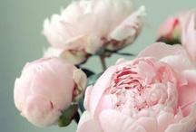 Peonias siempre / Mi flor favorita en todo su colorido