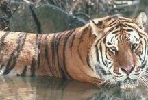 Tigre / Parce que c'est beau un tigrou ❤️