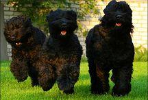Dogs / Black Russian Terrier Akita Inu Doberman