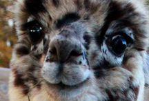 Llama&Alpaca world