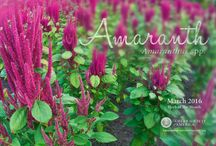 Amaranth / by Herb Society of America