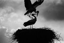 Storks and Their Nests...