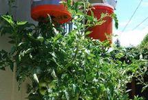 pomidory / ogród