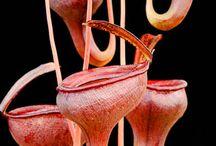 böcek kapan bitkiler