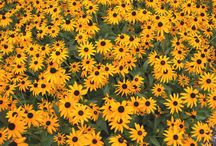 Fall Bloomers / Perennials that bloom in the fall