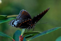 Butterflies / Our pollinator garden attracts some colorful winged friends. Grab a camera or come just to enjoy their beauty.