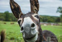 Eşek adam Eşşektir / donkey,