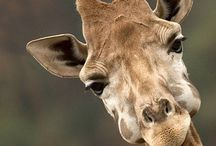 Giraffes / by Linda Elliott