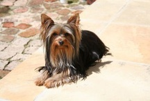 Yorkie Love / by Jennifer Williams