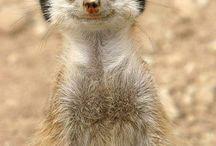 Meerkatte