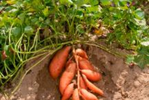 Pestovanie batatov